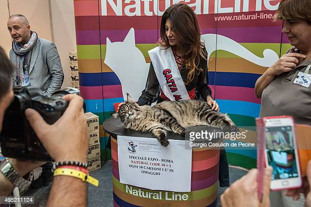 Maine Coon cat, the biggest in the world, poses for pictures as he waits to be examined by the jury during the Super Cat Show 2015 on October 31,...