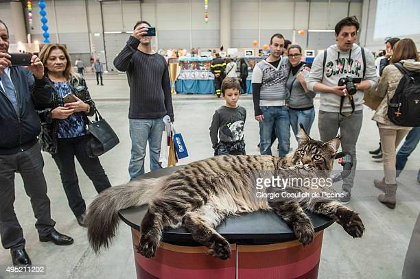 Maine Coon cat the biggest in the world poses for pictures as he waits to be examined by the jury during the Super Cat Show 2015 on October 31 2015...
