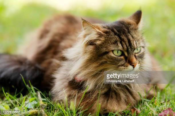 maine coon cat watching for prey in a garden, in france - maine coon cat stock pictures, royalty-free photos & images