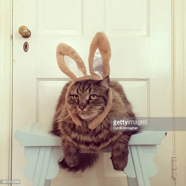 Maine Coon in Bunny Ears