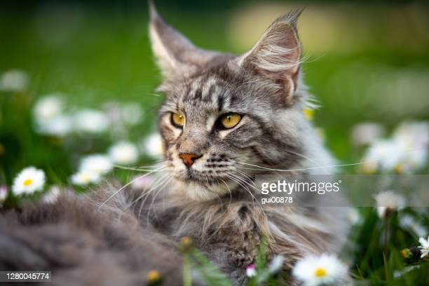 maine coon in the garden - maine coon cat stock pictures, royalty-free photos & images