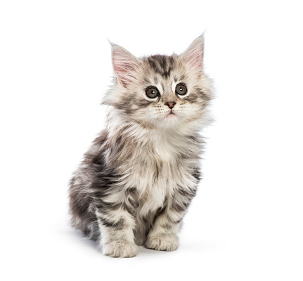 Maine coon kitten, 8 weeks old, in front of white background 1067755362