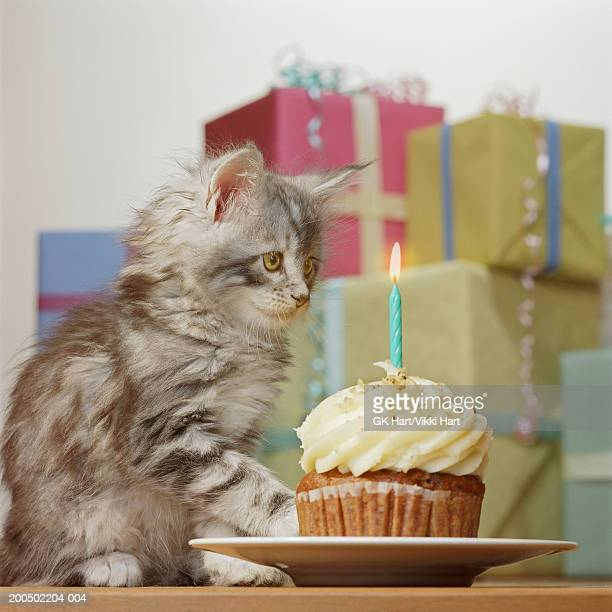 maine coon kitten by presents, looking at birthday cupcake - images stock photos and pictures
