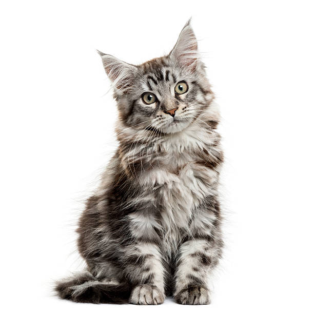 Maine Coon Kitten In Front Of White Background Wall Art
