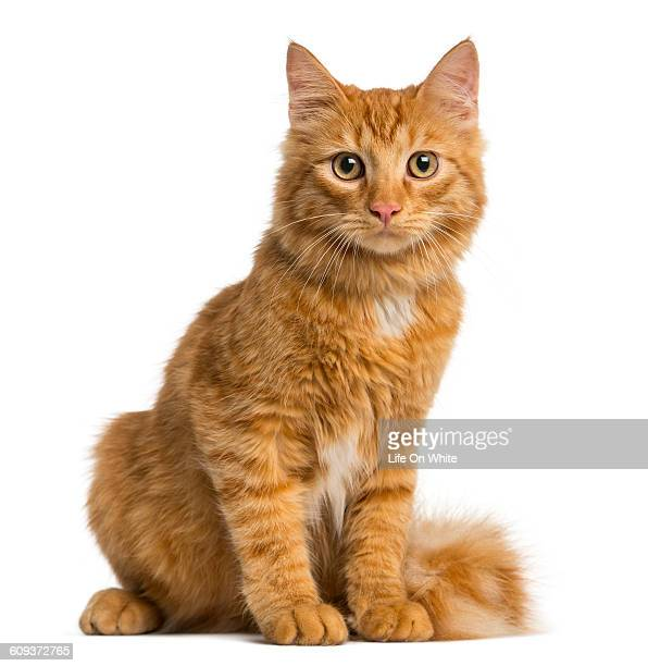 Maine Coon kitten isolated on white