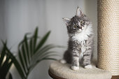 maine coon kitten on scratching post