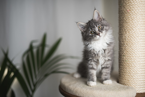 maine coon kitten on scratching post 1085283872