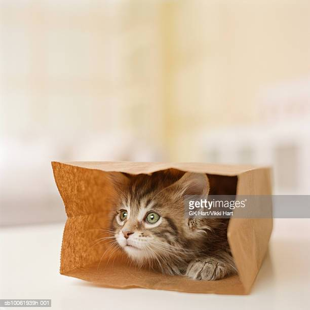 Maine Coon Kitten sitting in paper bag, close-up