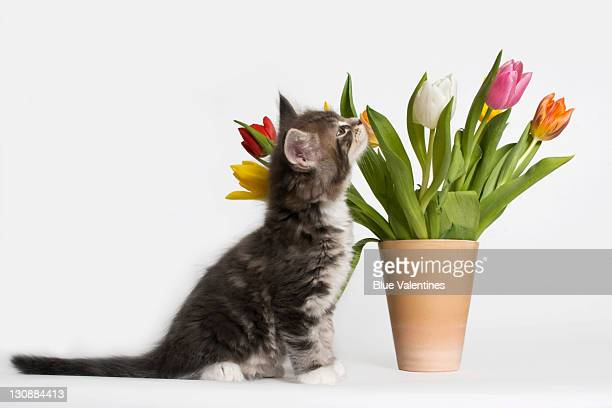 Maine Coon kitten sniffing at a vase of colourful tulips