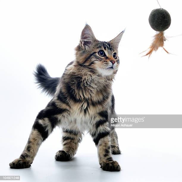 Maine Coon kitten with toy on white background