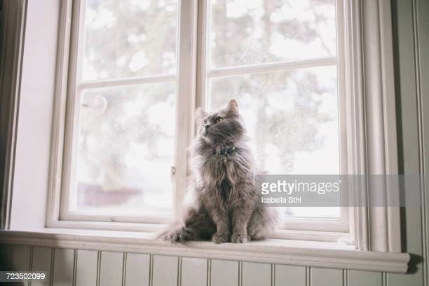 Maine Coon looking away while sitting on window sill