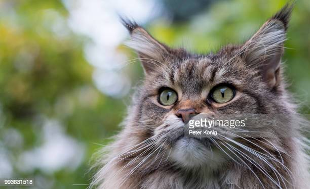 maine coon portrait - maine coon cat stock pictures, royalty-free photos & images