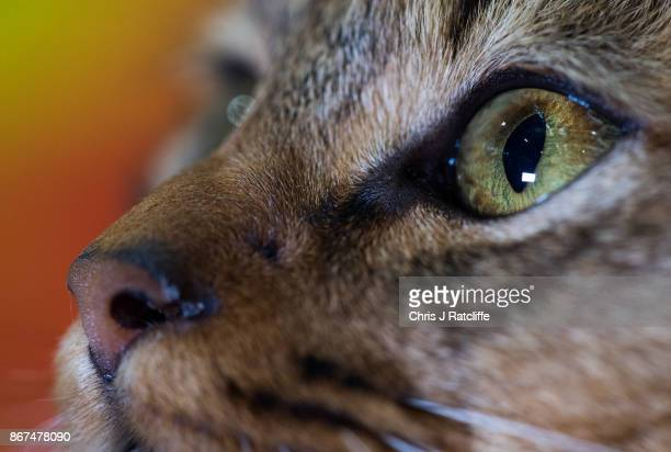 Maine Coon, Rum Tum Tummer, is pictured during the Supreme Cat Show on October 28, 2017 in Birmingham, England. The one-day Supreme Cat Show is one...