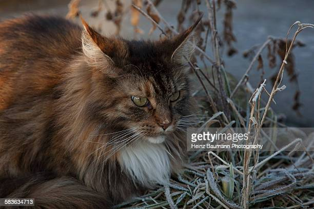 Maine Coon sitting in frosty grass