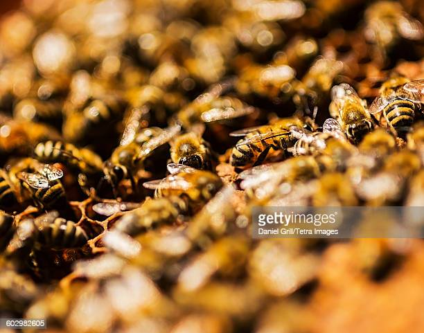 USA, Maine, Hope, Close-up of bees on honeycomb