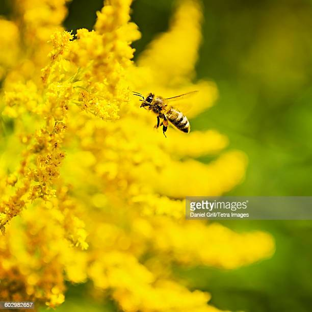 USA, Maine, Hope, Honey bee flying to yellow flower