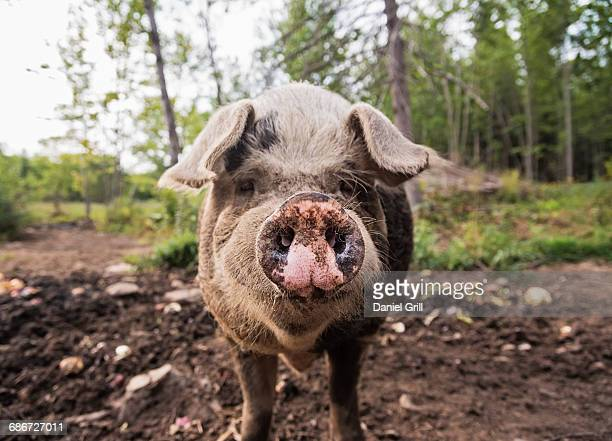 usa, maine, knox, pig looking at camera - pig stock photos and pictures
