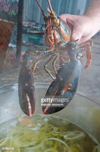 Maine Lobster into the pot