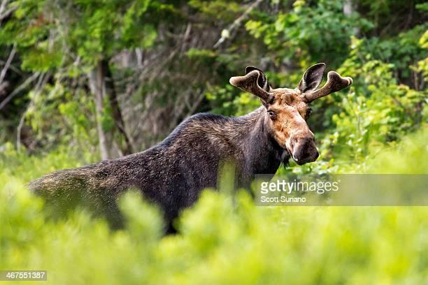 maine moose - retreating ストックフォトと画像
