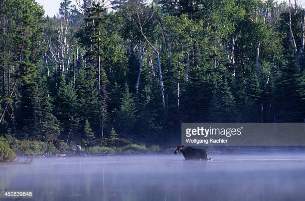 USA Maine Moosehead Lake Near Rockwood Socatean Stream Moose Cow In River