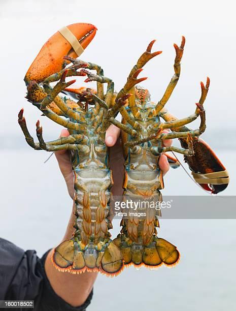 USA, Maine, Portland, Man holding lobsters