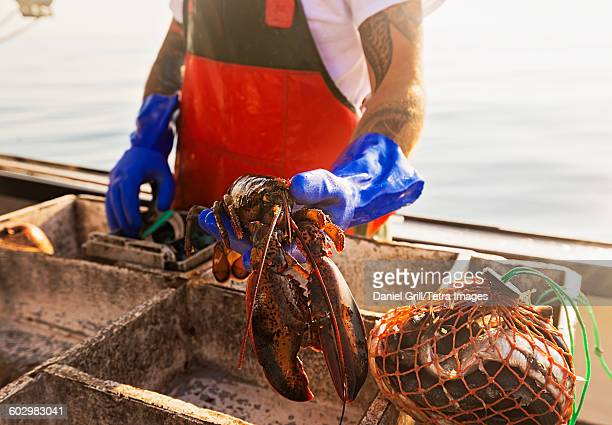 USA, Maine, St. George, Fisherman holding lobster