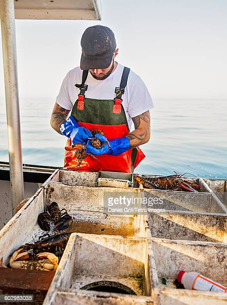 usa, maine, st. george, fisherman measuring lobster - lobster fishing stock photos and pictures