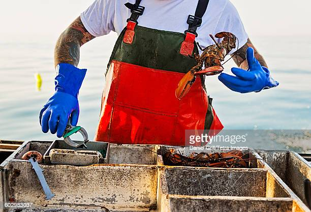 USA, Maine, St. George, Fisherman throwing lobster
