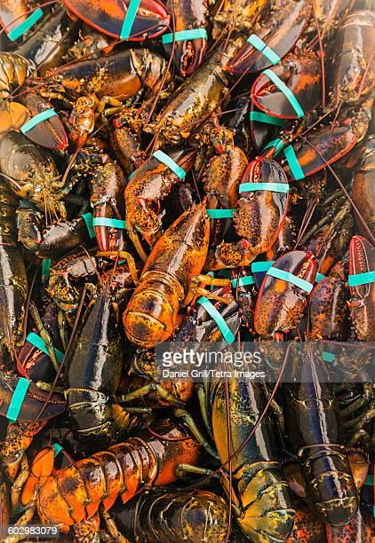USA, Maine, St. George, Full frame of fresh lobsters