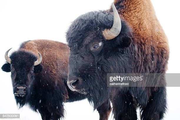 USA, Maine, Two bisons in winter