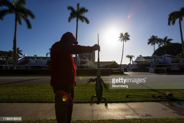 Maintenance worker holds an iguana immobilized from cold temperatures outside an apartment complex in West Palm Beach, Florida, U.S., on Wednesday,...