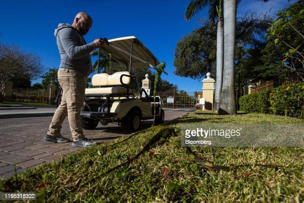 Maintenance worker places iguanas immobilized from cold temperatures on the pavement outside an apartment complex in West Palm Beach, Florida, U.S.,...