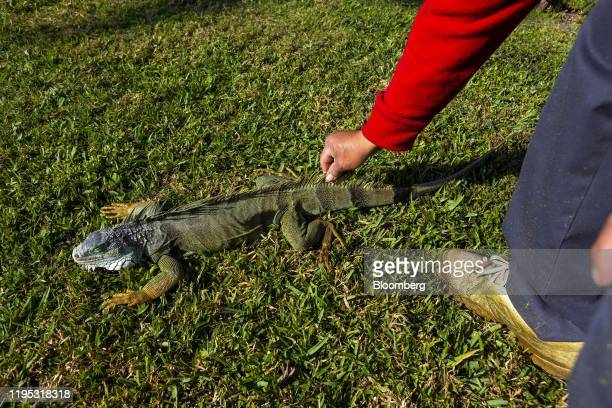 Maintenance worker touches an iguana immobilized from cold temperatures outside an apartment complex in West Palm Beach, Florida, U.S., on Wednesday,...