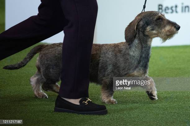 Maisie the Wire Haired Dachshund and owner Kim McCalmont from Gloucestershire celebrate after winning Best in Show on the last day of Crufts Dog Show...
