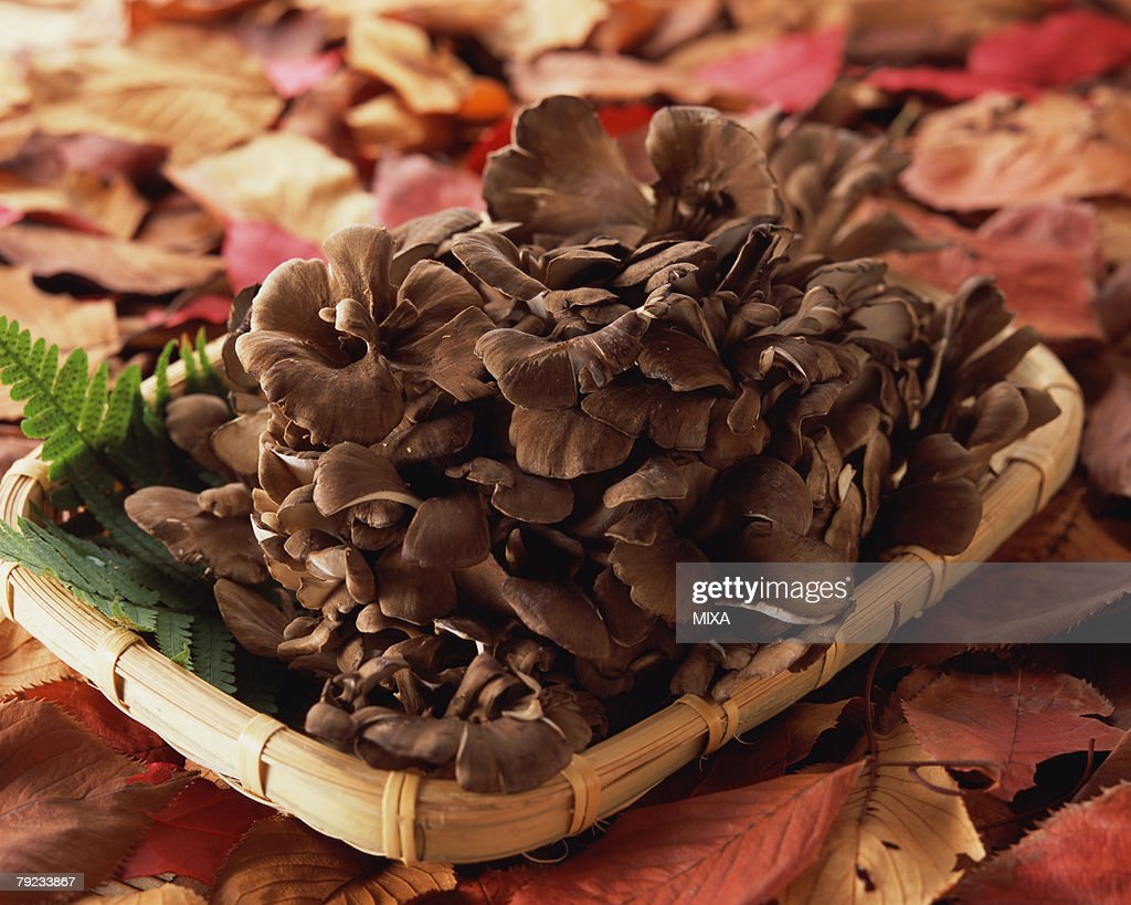 Maitake Mushrooms : Stock Photo