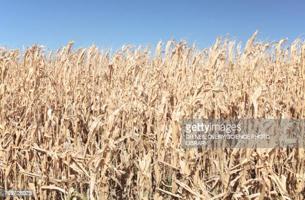 Maize Crop destroyed by drought