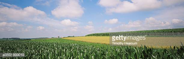 maize fields - timothy hearsum stock photos and pictures