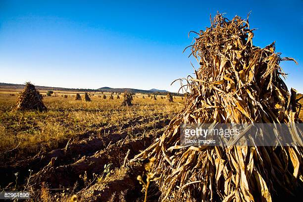 Maize in a harvested field, Hidalgo, Mexico