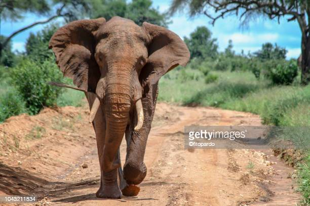 majestic african elephant running toward camera - elephant head stock-fotos und bilder