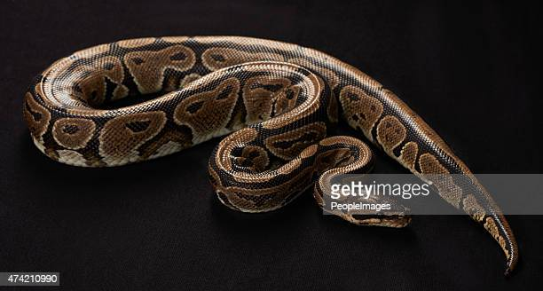 majestic and deadly - indian python stock pictures, royalty-free photos & images