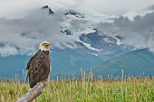 majestic bald eagle alaska with glacier