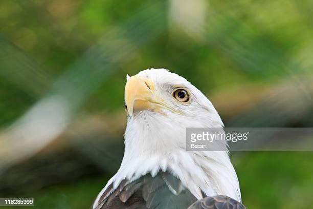 Majestuoso águila calva (Haliaeetus Leucocephalus)
