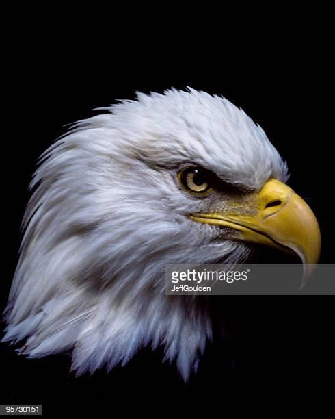 Majestuoso águila de cabeza blanca