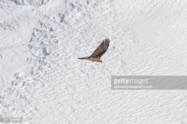 majestic bearded vulture - bearded vulture stock pictures, royalty-free photos & images