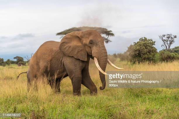 a majestic bull african elephant - african elephant stock pictures, royalty-free photos & images