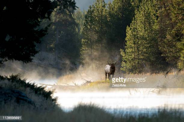 majestic bull elk on the banks of the yellowstone river - wapiti foto e immagini stock