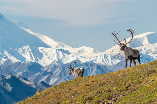 Majestic caribou bull in front of the mount Denali, ( mount Mckinley), Alaskal 1050037880