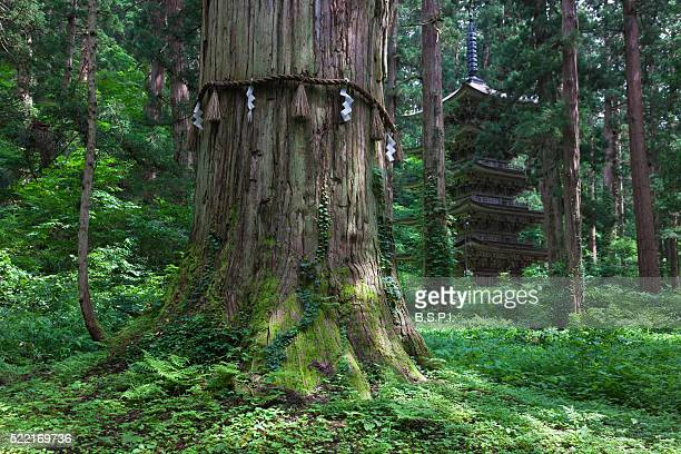 majestic cedar tree and wooden pagoda at dewa sanzan sacred mountains in japan's yamagata prefecture - 山形県 ストックフォトと画像