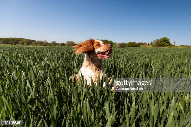 majestic cocker spaniel running and jumping in a field, england, united kingdom - moving after stock pictures, royalty-free photos & images