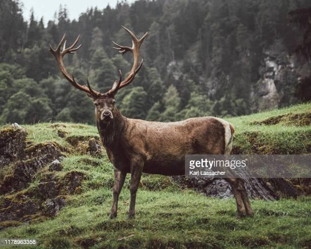 majestic deer - veado macho - fotografias e filmes do acervo